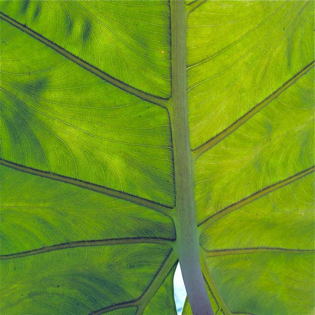 leaf-image